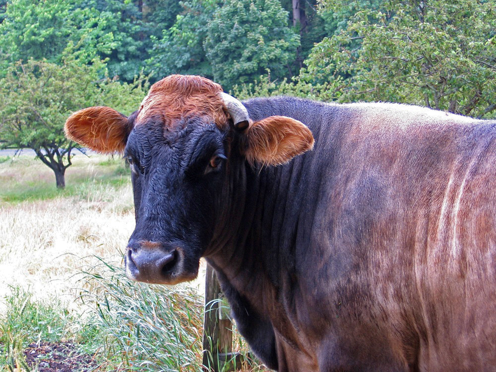 April the Cow - new Mayor of Eastsound, Orcas Island WA