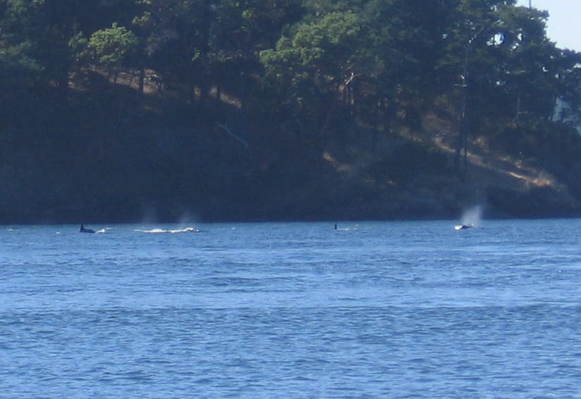 Resident orca whales in the San Juan Islands