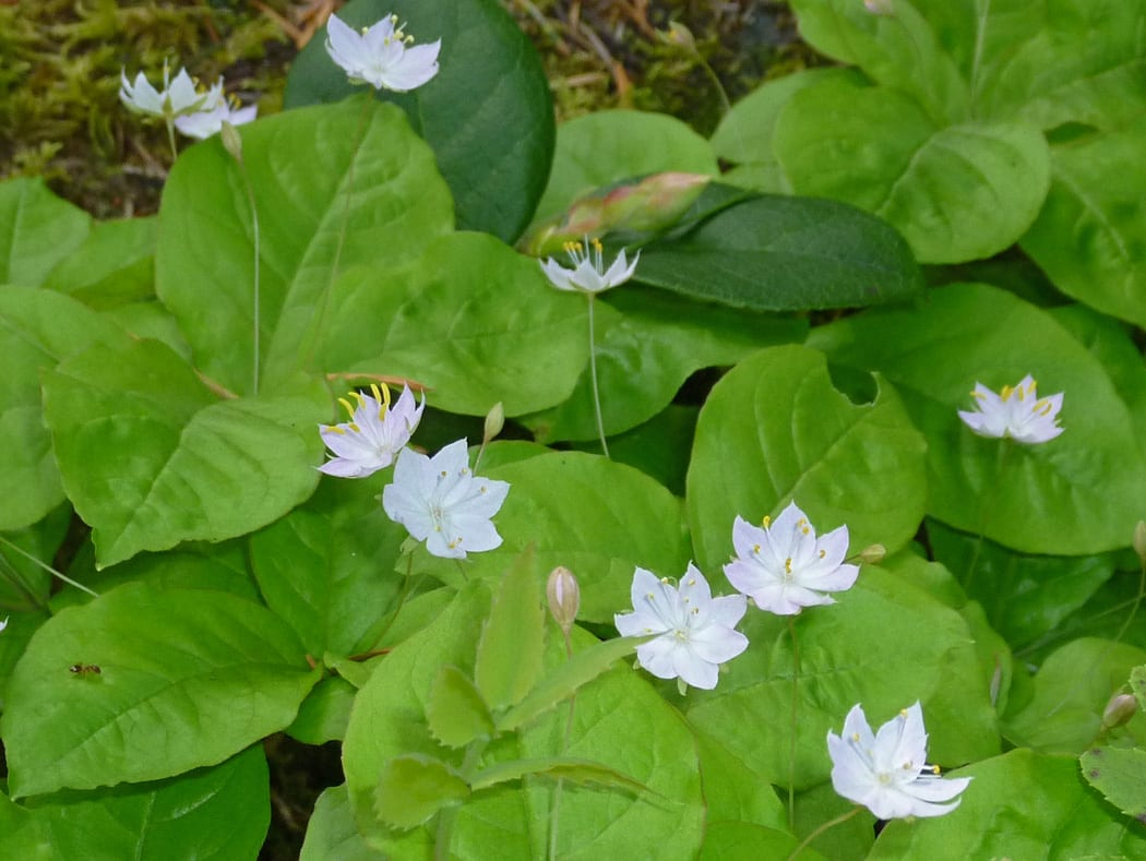 Broadleaf Starflower on Orcas Island