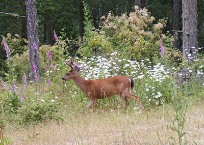 Black-Tailed Deer on Orcas Island