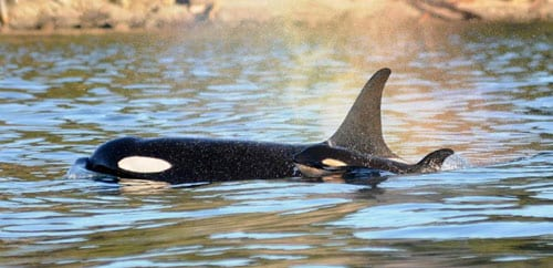 new baby orca