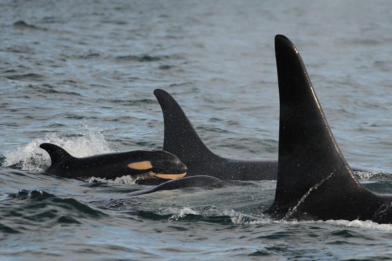 Christmas orca calf J50