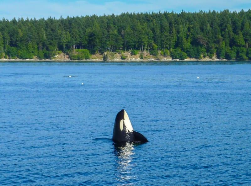 Orca whale spy hopping off Henry Island