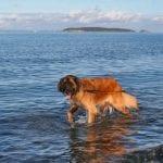 Murph first dip in Salish Sea