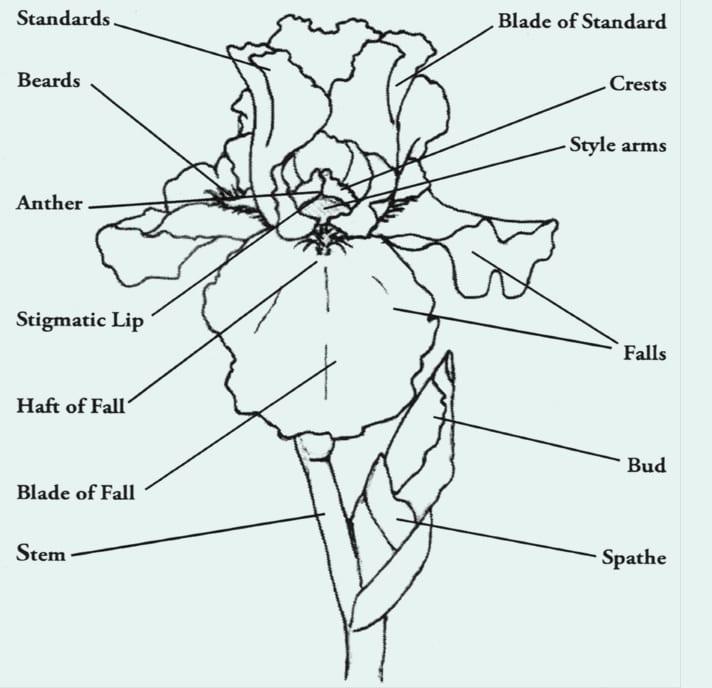 Parts of an iris flower